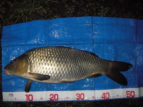 中川 鯉 50cm 1本バリダンゴ