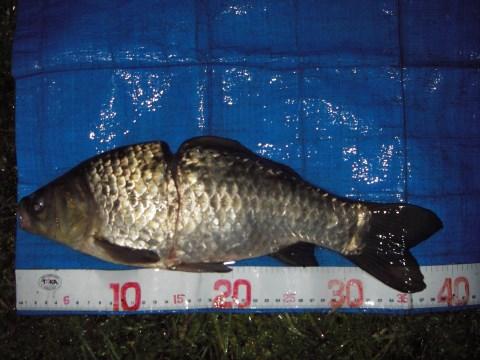 中川 フナか鯉ベラ 38cm
