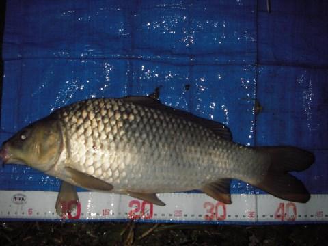 中川 鯉 43cm 13尺バランス