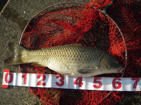 中川 鯉 62cmゴカイ
