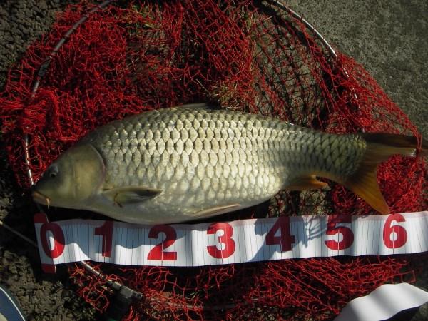 中川 鯉 61cmゴカイ
