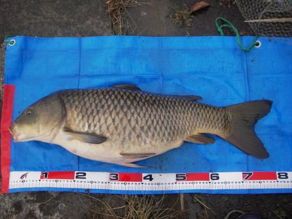 中川 鯉 78cm ネリとパン耳
