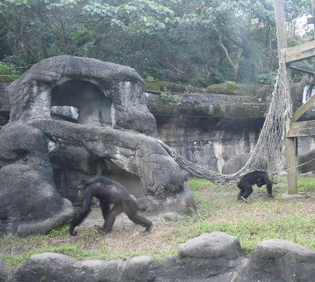taipeizoo_chimpanzee_1601.jpg