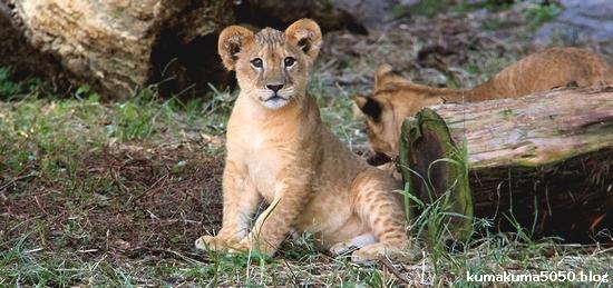 ライオン赤ちゃんイベント_1