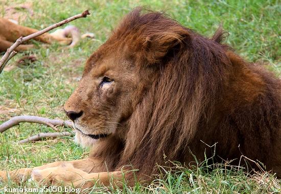 ライオン_1299