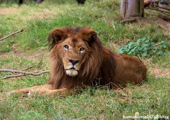 ライオン_1300