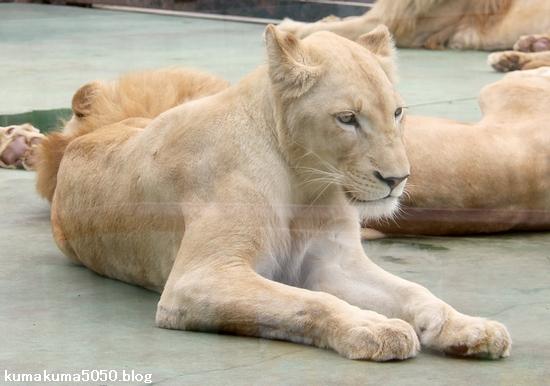 ホワイトライオン_138