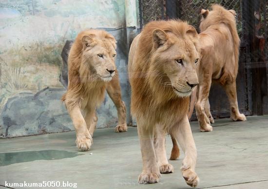 ホワイトライオン_151