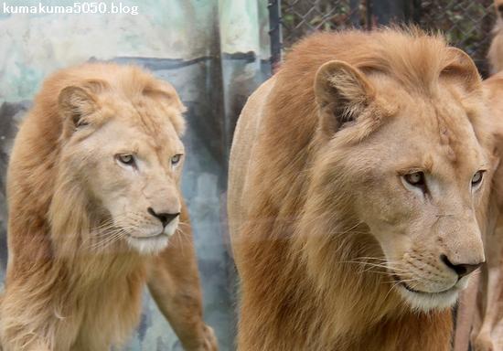 ホワイトライオン_152