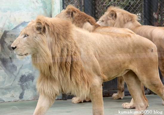 ホワイトライオン_153