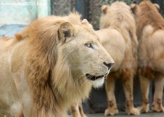ホワイトライオン_155