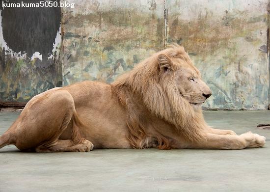 ホワイトライオン_161