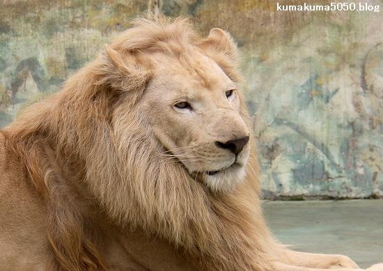 ホワイトライオン_162