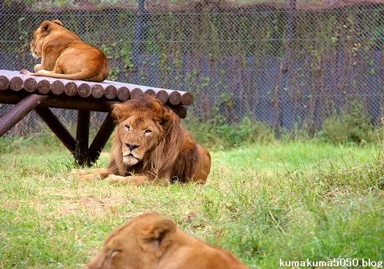 ライオン_1317