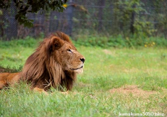 ライオン_1322