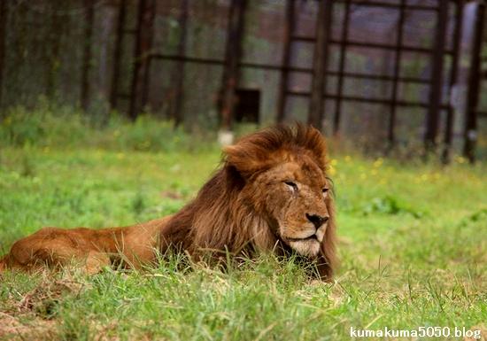 ライオン_1325
