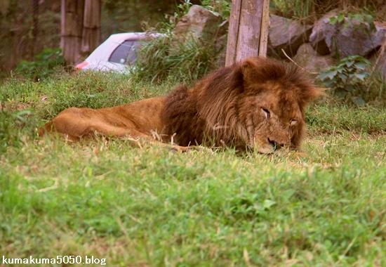 ライオン_1327