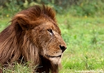 ライオン_1328
