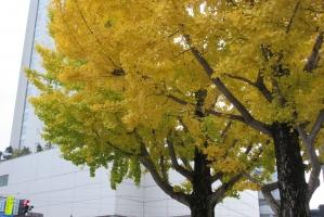 富山城近くの公孫樹
