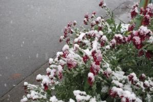 紅菊に雪降る