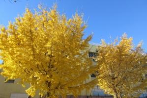 青空と日本の公孫樹