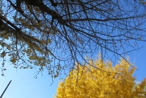 大手公園の桜と公孫樹