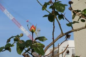 市立病院解体工事とバラのつぼみ