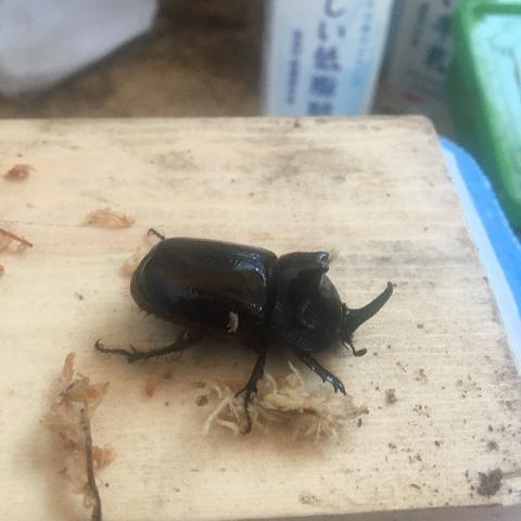 ムナビロヒサシヘラヅノ♂