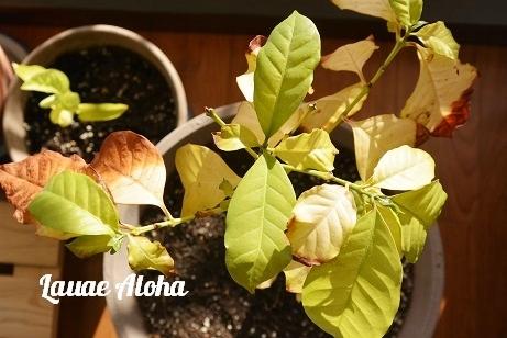 コーヒー豆の木・豆子