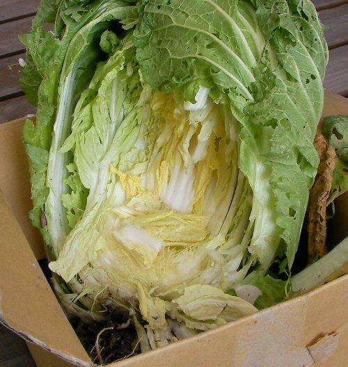 201701211051白菜被害②-2