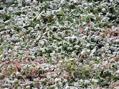 凍るクローバー