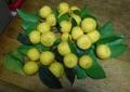 花柚子の実