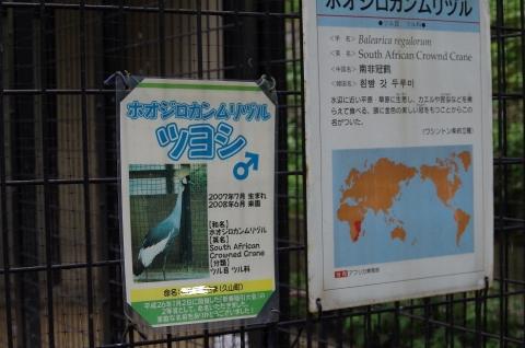 福岡市動物園 ホオジロカンムリヅル ツヨシ君