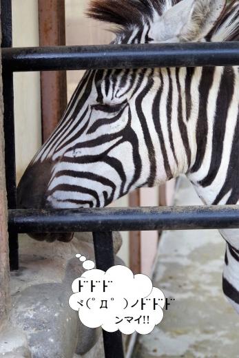 広島市安佐動物公園からやって来た♀「ミズキ」ちゃん 福岡市動物園のグラントシマウマ