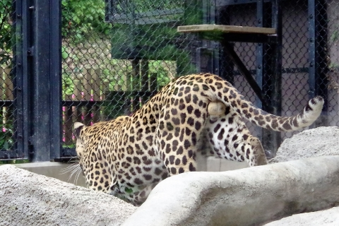 福岡市動物園のヒョウ サン君 鈴カステラ