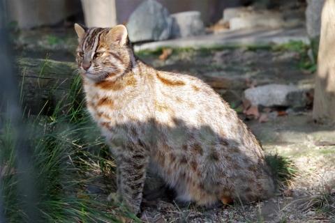 ツシマヤマネコ むぅ君 福岡市動物園
