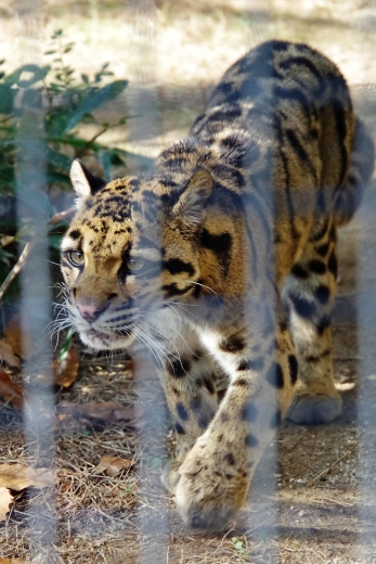 熊本市動物園から避難している 福岡市動物園のウンピョウ