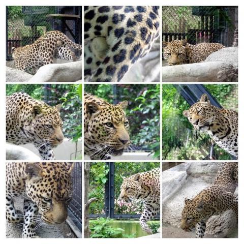 福岡市動物園のヒョウ サン君のコラージュ