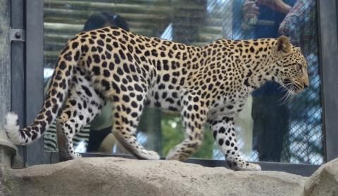 福岡市動物園のヒョウ とべ動物園に転出しちゃったキララちゃん