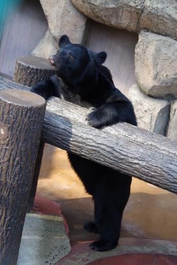 ツキノワグマのゲンキ君 福岡市動物園