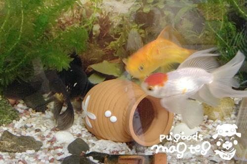 金魚トリオ
