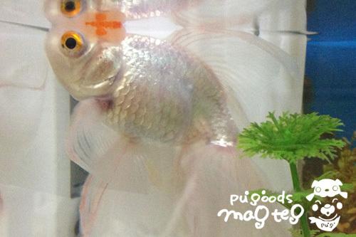 残った金魚