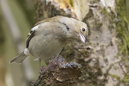 famale chaffinch