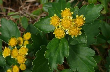 イソギクの開花