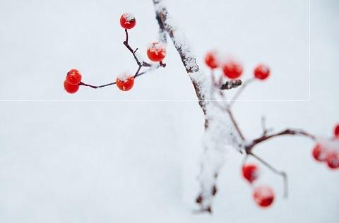 170118 雪とナナカマド