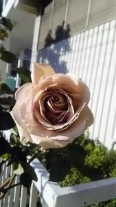 20161225薔薇