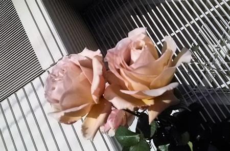 20161225薔薇2