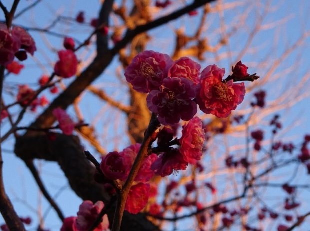 梅の花@赤羽台 (1)