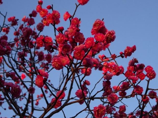 梅の花@赤羽台 (2)