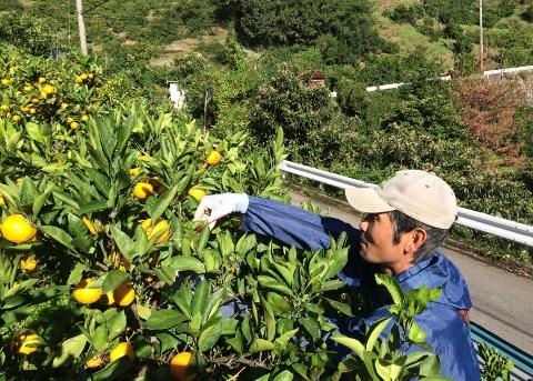 収穫の様子(AKIRA)